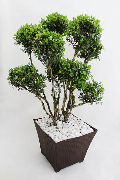 Planta Arrayán