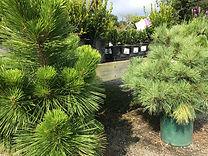 1-shrubspine.jpg