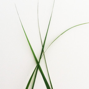 Lemon Grass.jpg