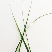 Lemon Grass.jpg