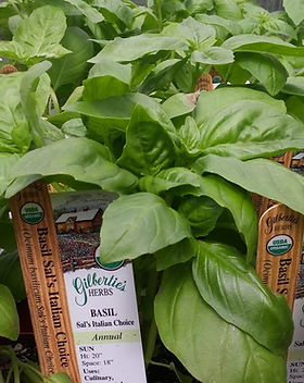 Sal-Gilberties-favorite-basil.jpg