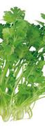 4-coriander.jpg