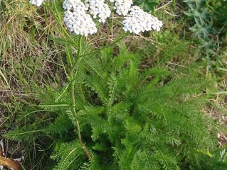 Weed of the Week - Common Yarrow