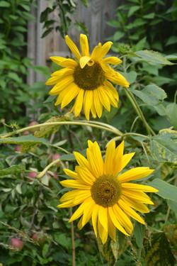 Sunflowers (1b) (1).JPG