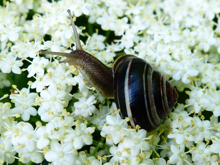 Organic control of slugs and snails