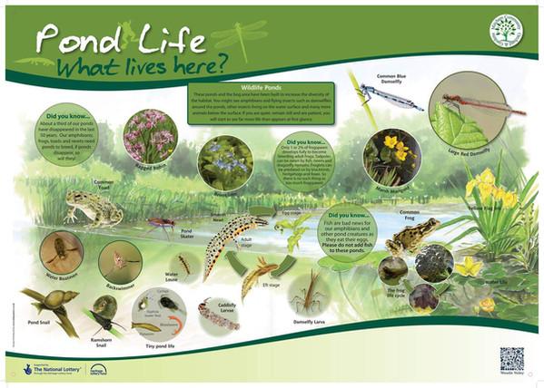 Mitcham Orchard, Pond Life