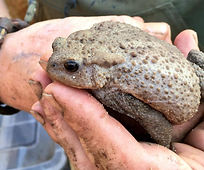 Mitcham Orchard, Female Common Toad