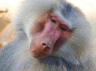 baboon-1714256_1280.jpg