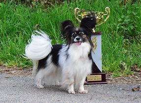 chiens-Epagneul-nain-Continental-Papillo