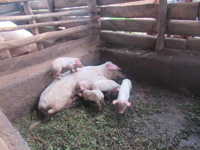 website pigs IMG_2640.JPG