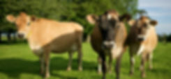 Cows_edited.jpg