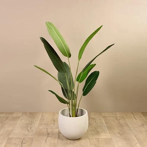 Strelitzia Palm II - Medium