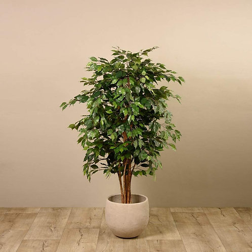 Ficus Tree - Medium