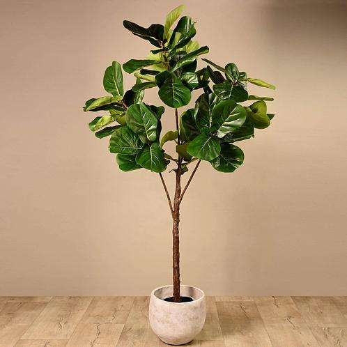Fiddle Tree - Medium