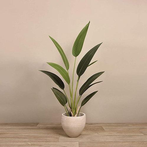 Strelizia Palm - Medium