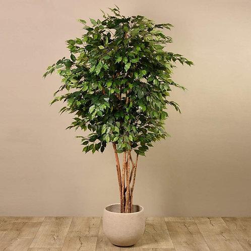 Ficus Tree - Large