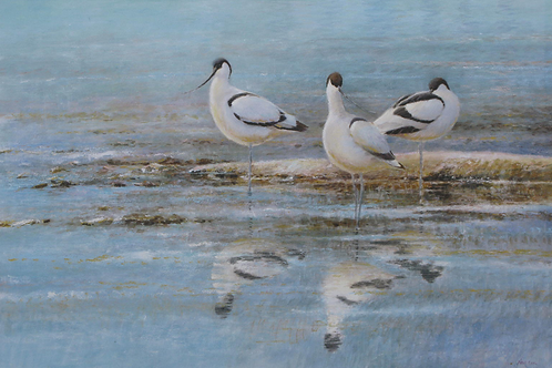 'Winter Blue' - Avocets 43x 63 cm