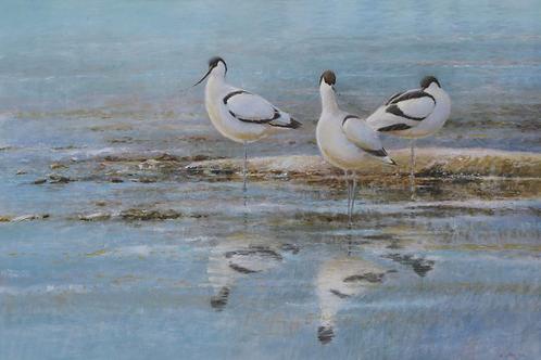 'Winter Blue' - Avocets 43x 63 cm