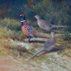 Autumn Pheasant.