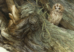 Crackwillow, Tawny Owl