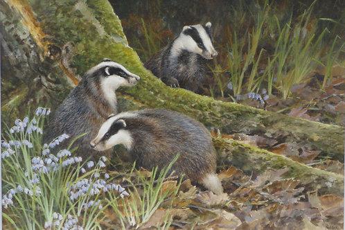 'Blue Bell Wood' -  Badgers 42 x 61 cm