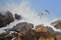Wild Coast - Oystercatchers