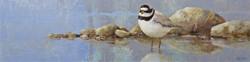 Shoreline - Ringed Plover