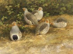 Grey Partridge Watercolour. 18ins x 27ins.
