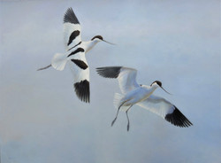 'Dropping In' - Avocets
