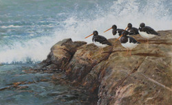 On the Point, Oyster Catchers