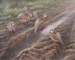 Farm Track, Red Legged Partridge