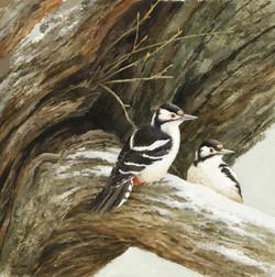 Winter Oak - Woodpecker