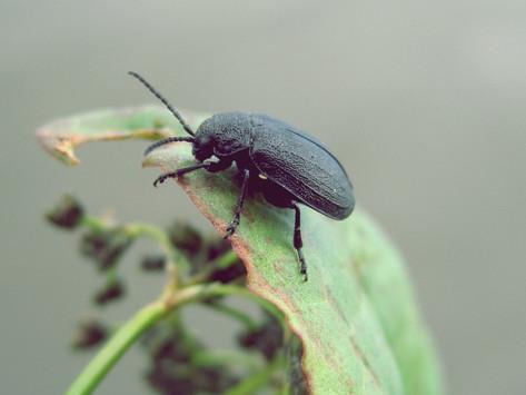 Treating Plantar Warts with Beetle Juice