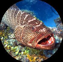 Grouper-circle.png