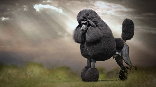Dog photographer pet photography standard black poodle