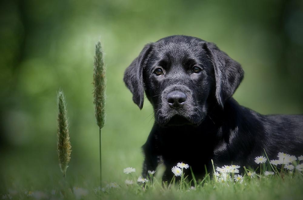 Cute Labrador Puppy Pet photographer Edinburgh
