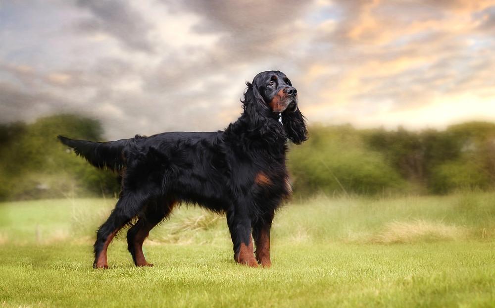 Gordon Setter Pet Photography Carrie Southerton Dog Photography