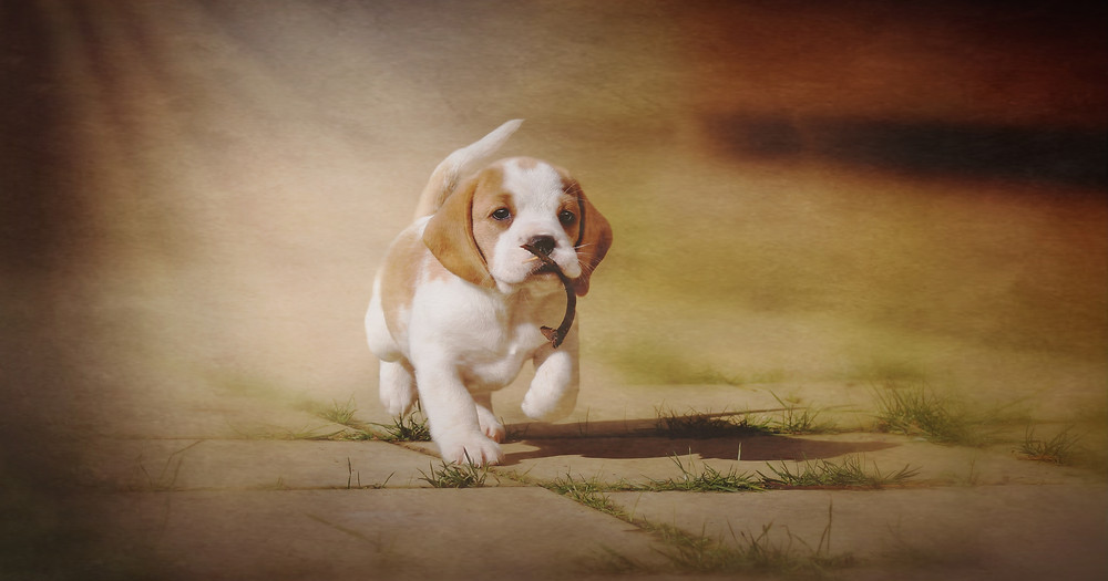 cute beagle puppy pet photographer Edinburgh