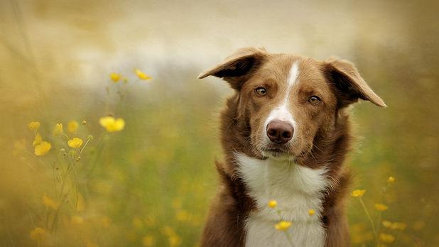 Dog Photographer Scotland Falkirk Border collie