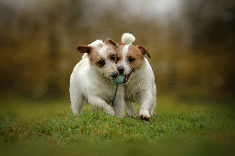 Pet photography jack russell terriers jrt falkirk