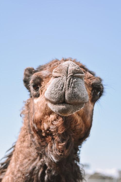 Nosey Camel