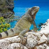 iguana-sea-reptile-wall-curacao-dutch-an