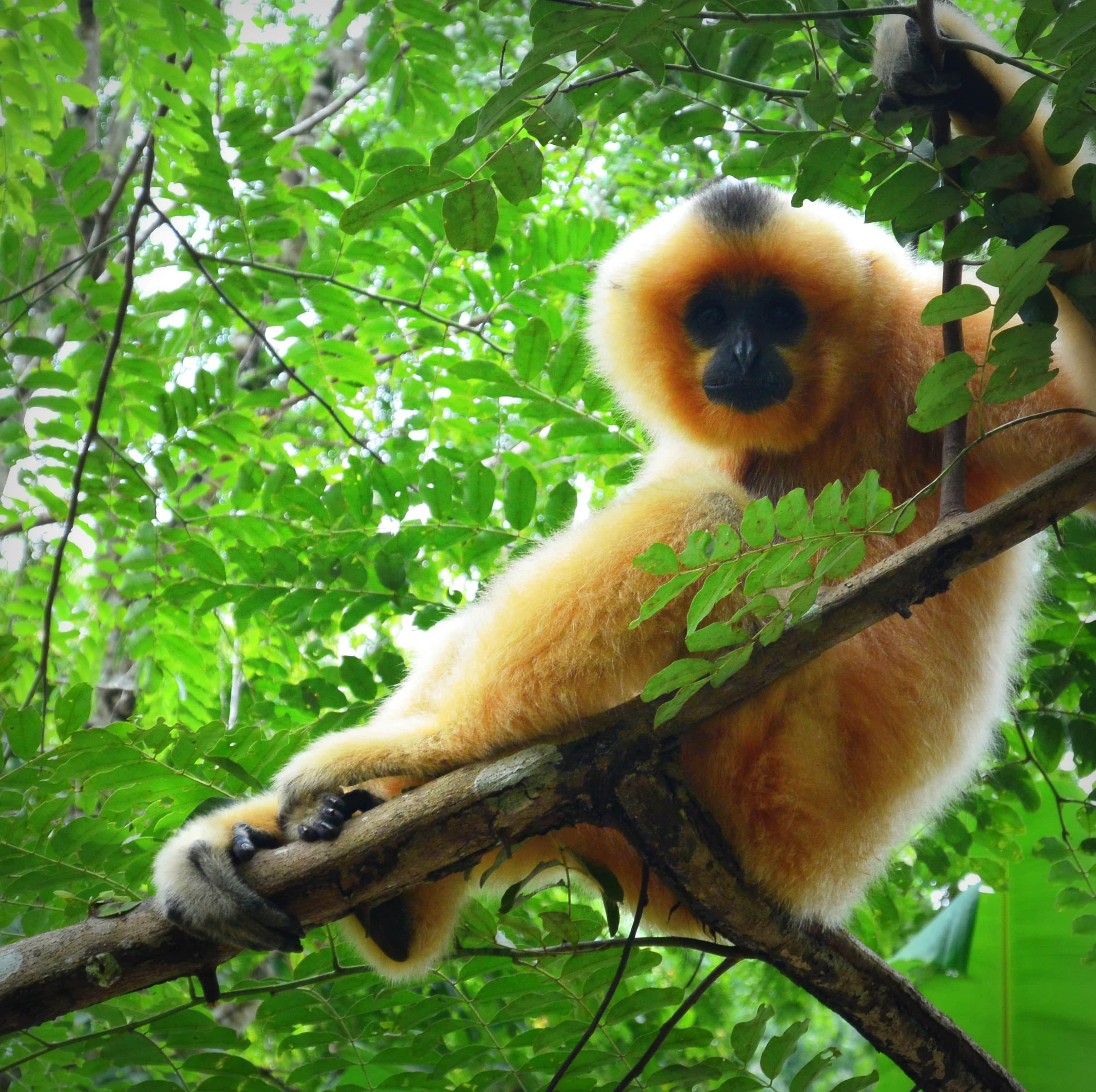 Golden Gibbon