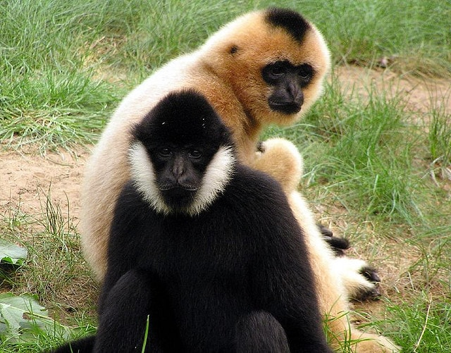 Golden Cheeked Gibbons-min