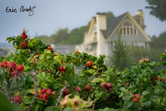 Red Berries, Bar Harbor