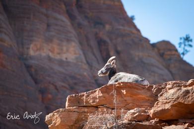 Bighorn Sheep, Zion NP