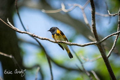 American Redstart, Plum Island