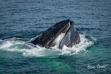 Humpback Whale Smile