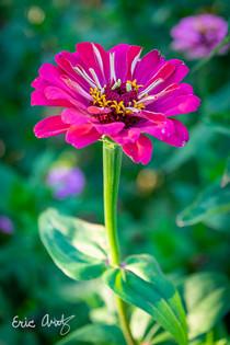 Fushcia Flower, VT