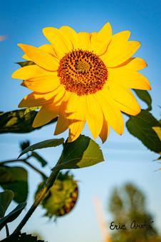 Sunflower Portrait, VT